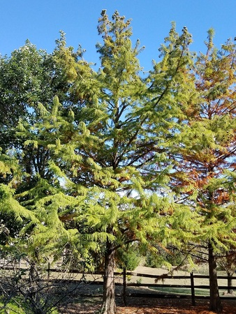 Bald Cypress 1