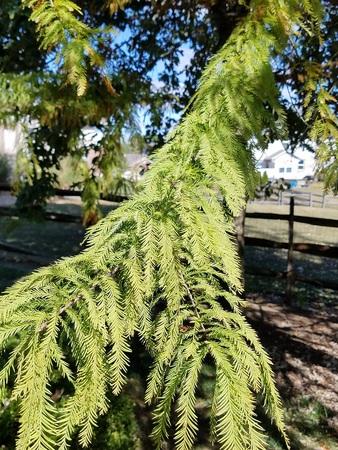 Bald Cypress 2
