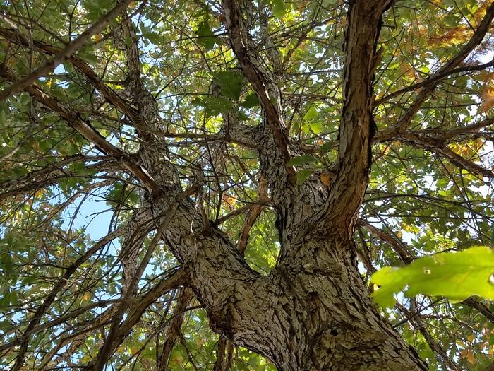 Swamp Oak 2